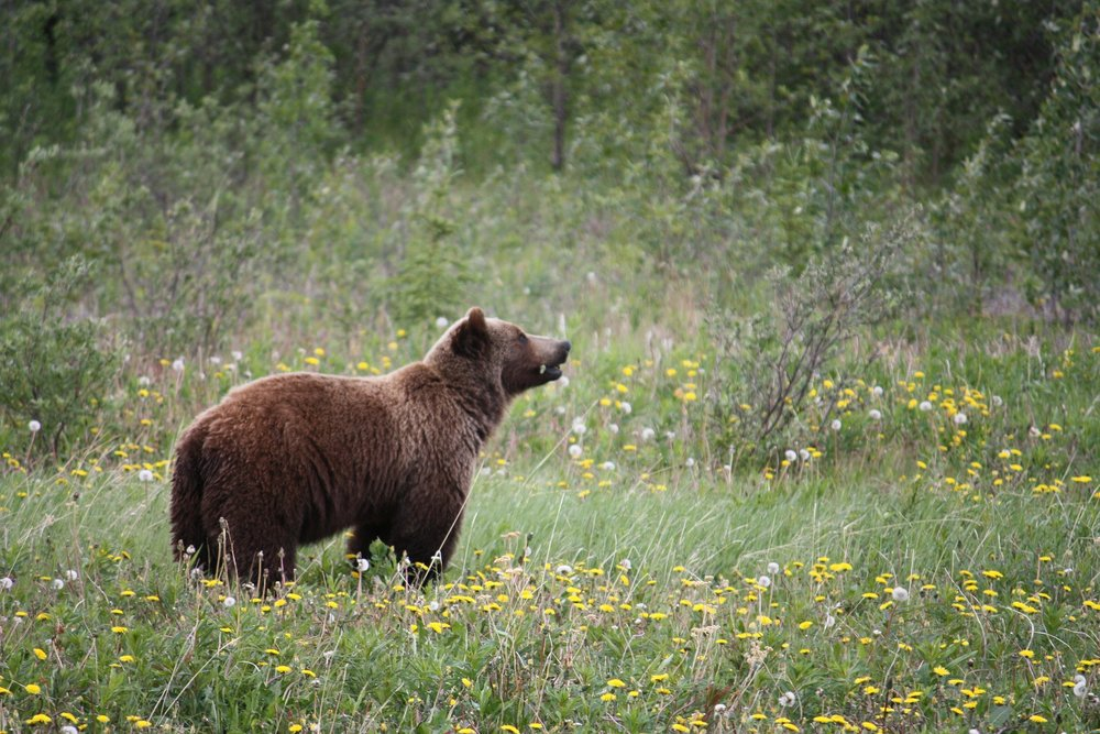grizzly-73505_1920.jpg