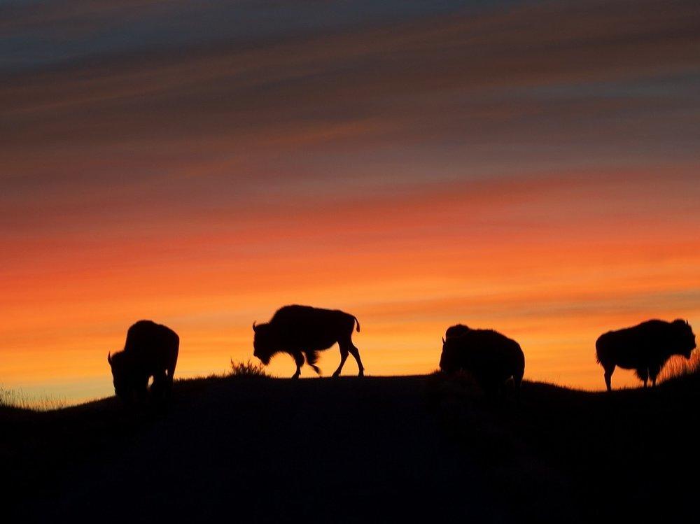 bison-1326980_1280.jpg