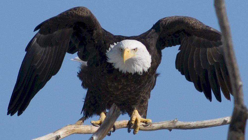 bald-eagle-936690_1280.jpg
