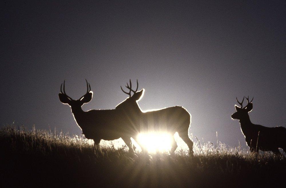 mule-deer-1249464_1280.jpg