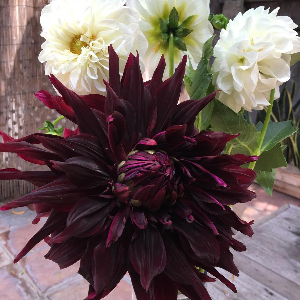 Deep purple dahlia from Malibu Farmers Market.