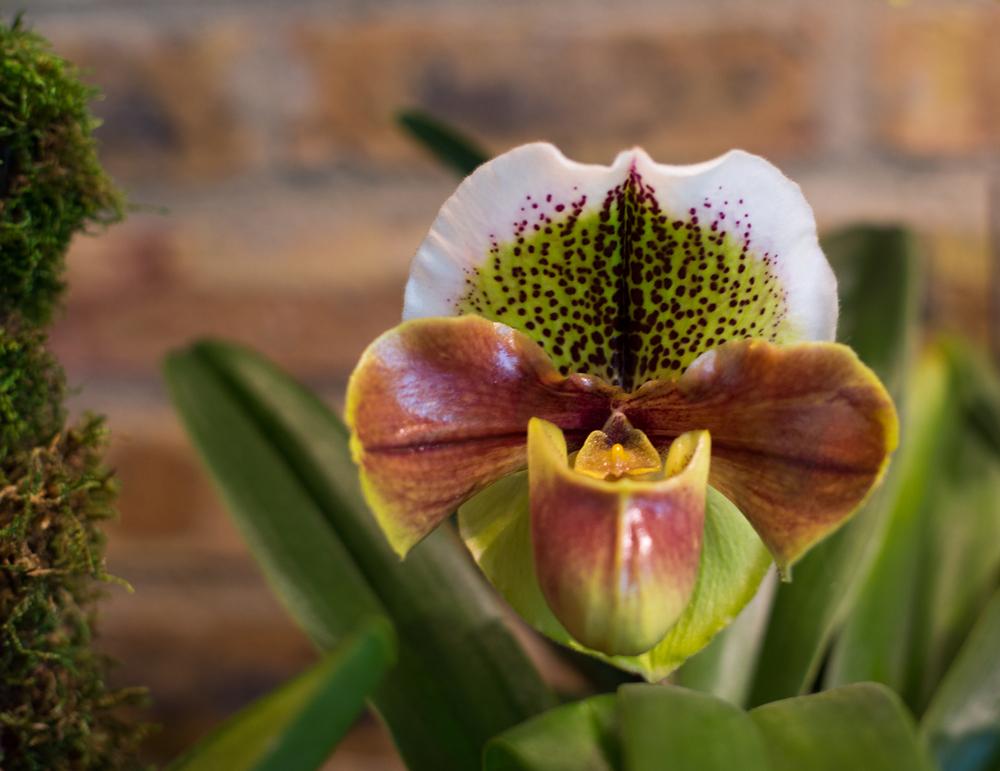 Chicago Botanic Gardens Orchid Show Sarah Elizabeth Larson