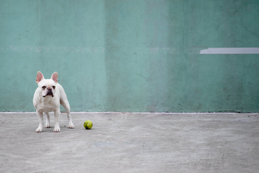 """Play with Me"" - A French Bulldog in SoHo, NYC"