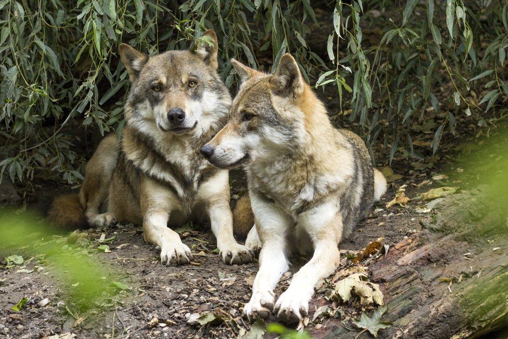 wolf-1384945.jpg