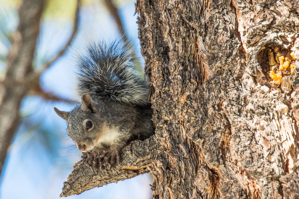 Western grey squirrel • Photo by sierra willoughby
