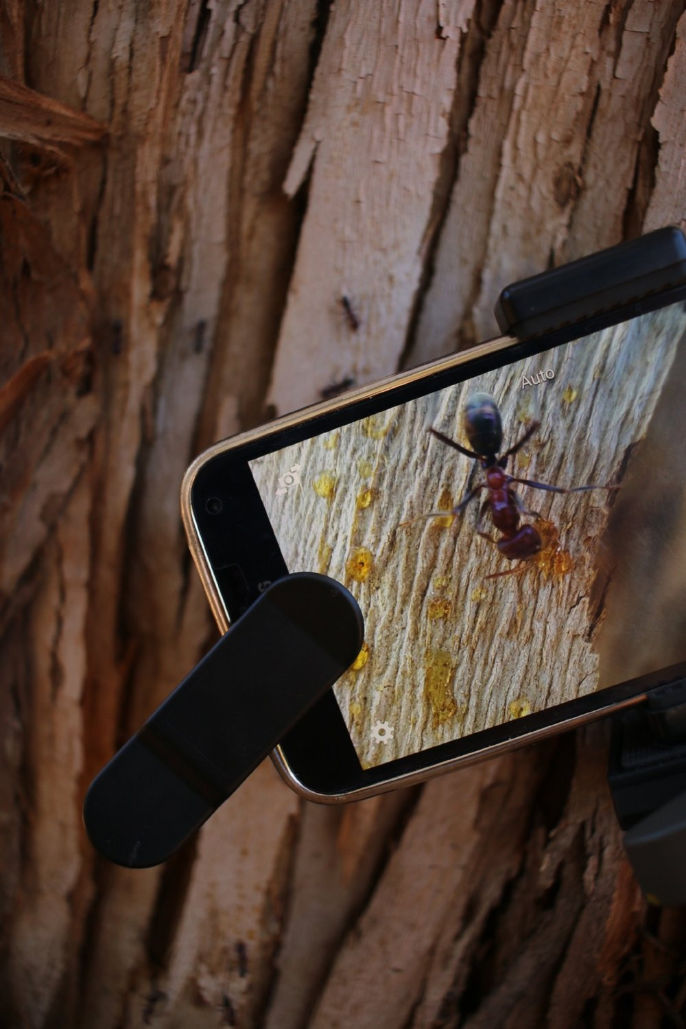 Shooting macro photography on ants and tree sap with the Samsung Galaxy s5 and the SnapLens Macro Pro Lens