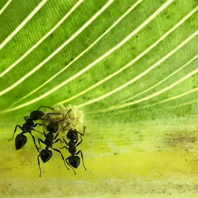 3 little ants. Shot with the #Snaplens Macro Pro. #snaplenspro #macrosnap #ants #naturegram #nature #cute #green #macrophotography #macrosnap