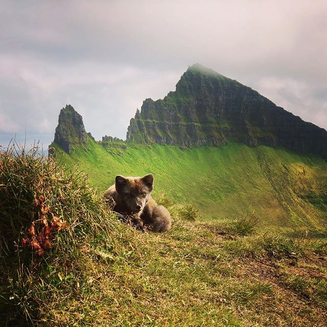 Fox knows how to choose napping spots, you could say he is an expert. #hornstrandir @boreaadventures #hikingiceland
