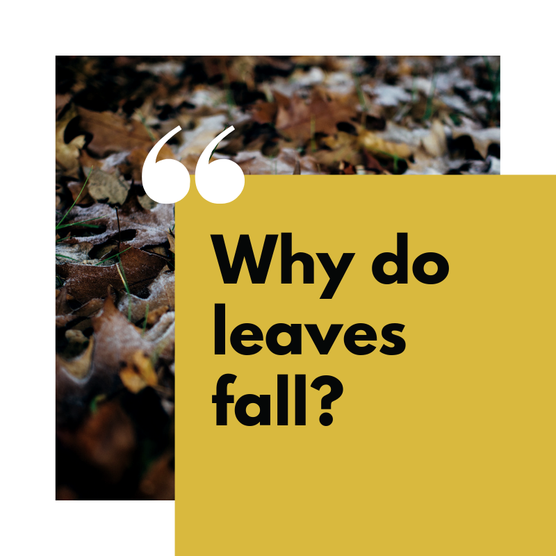 Why do leaves fall_.png