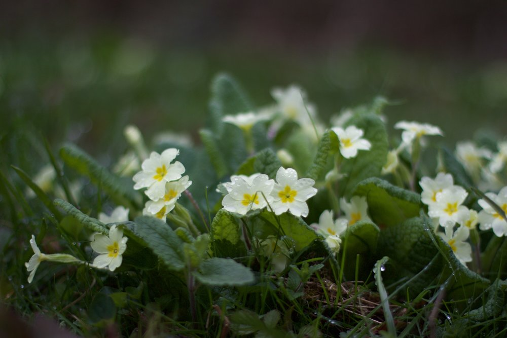 Wild primroses in Kent by florist Jennifer Pinder