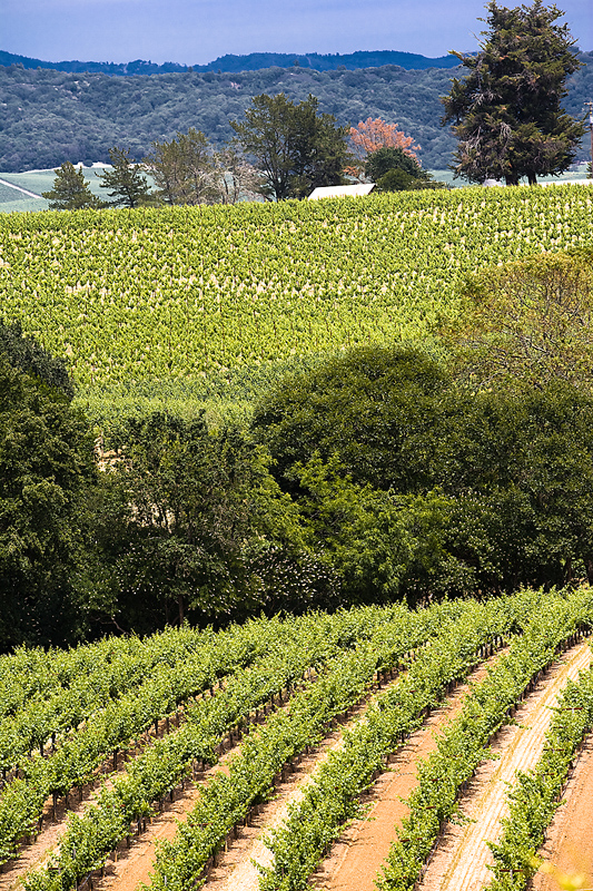 Sonoma County Vineyard