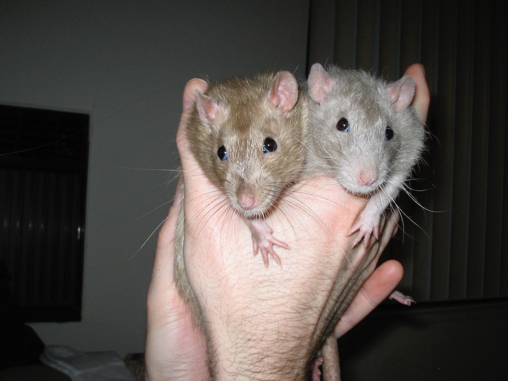 Scurvy & Stoli. Rats need love too!