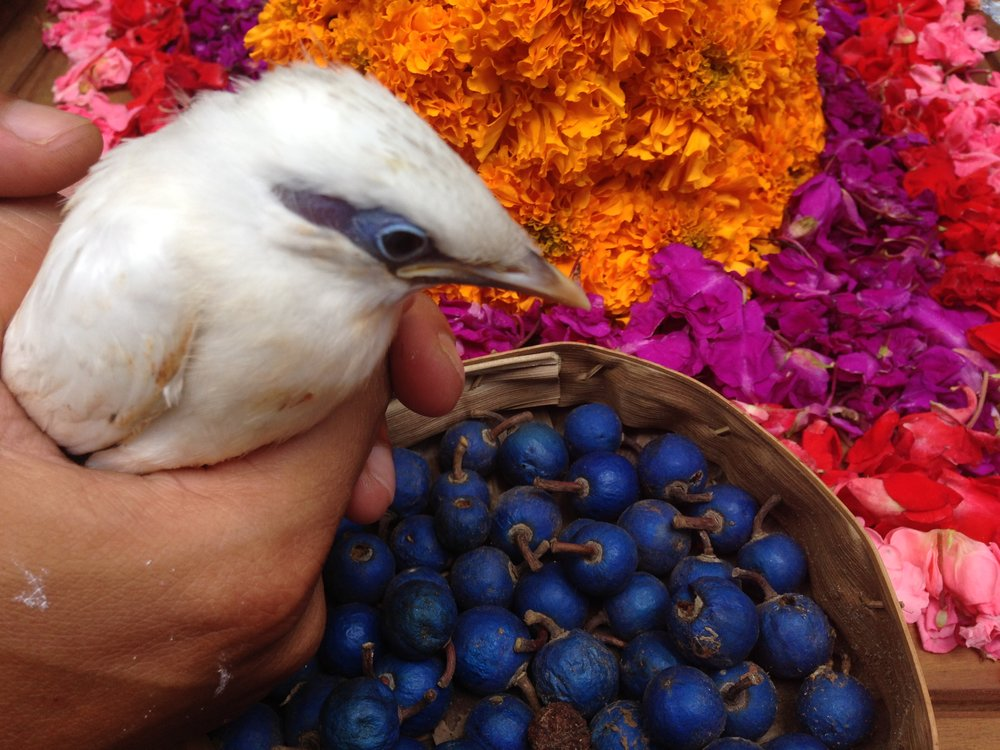 Experience the colours of Bali: the rudraksha seeds fresh from trees that are peeled to create mala beads; the flowers for offerings to family health and happiness we can make altogether; the Bali Starling - seen here at the Bali Starling Conservation Project at Green School, another place we'll be visiting for its inspired bamboo architecture.