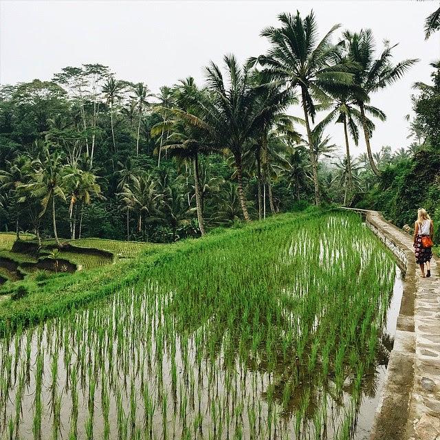 Gunung Kawi  rice paddy