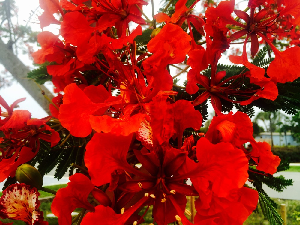 Royal Poinciana from my garden