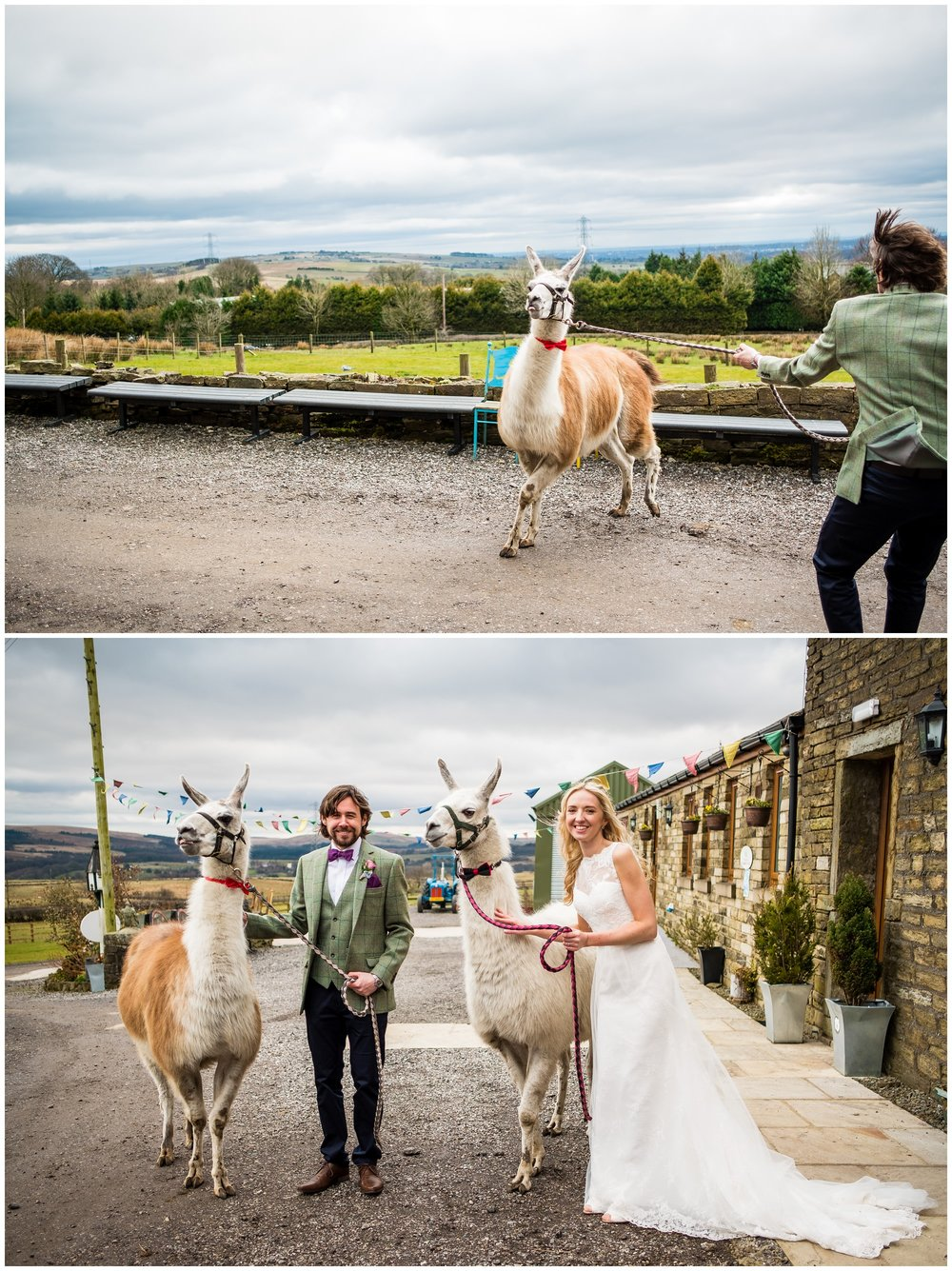 newlyweds with lamas at the wellbeing farm