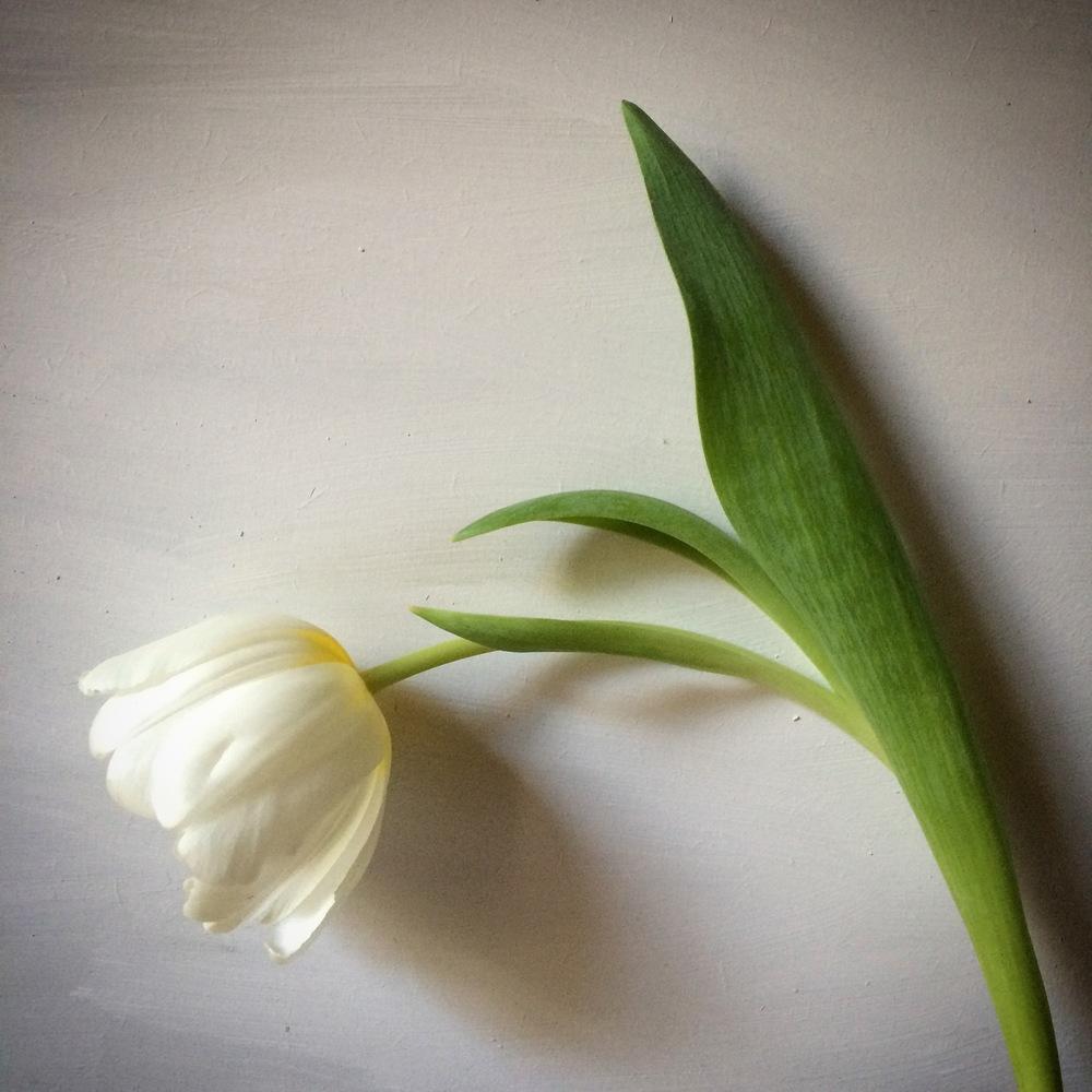 whitetulip