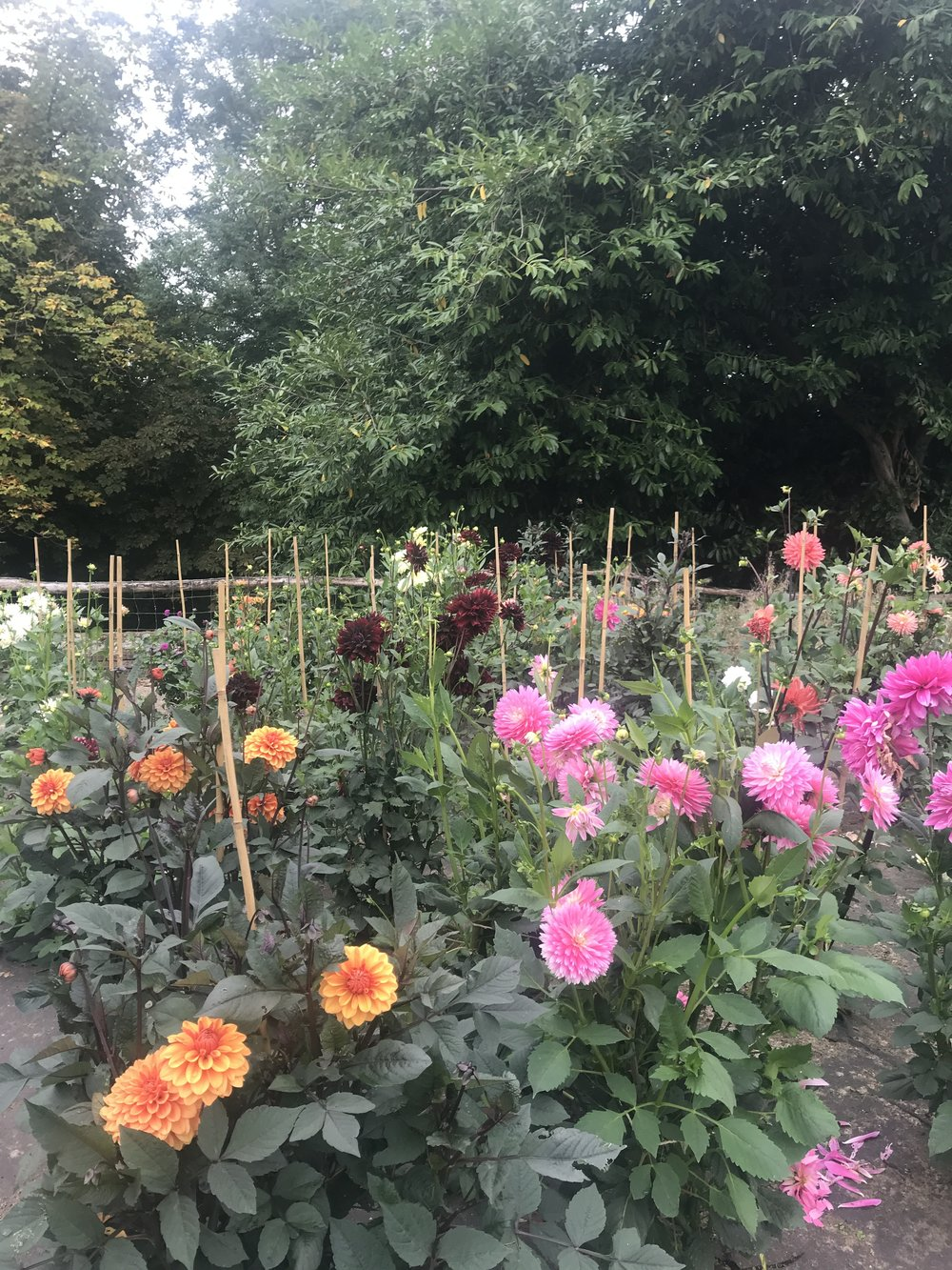 Dahlia beds at our Cowdray House Cutting Garden