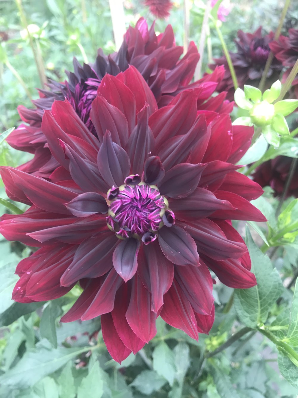 Fabulous burgundy dahlia