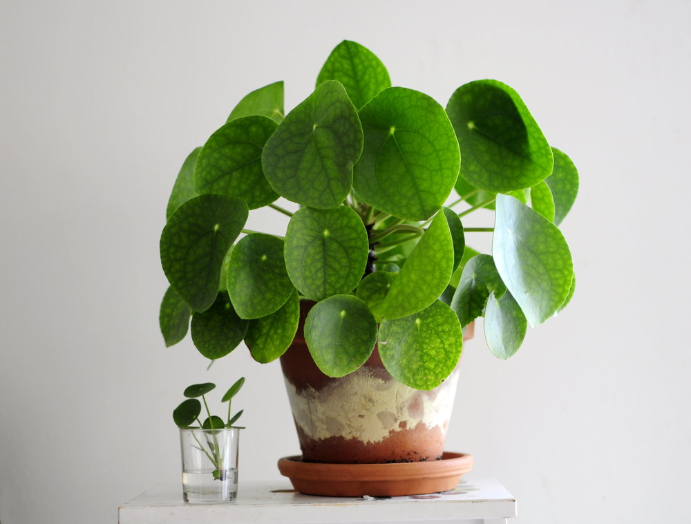 Billedresultat for pilea