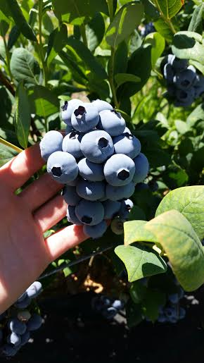 Giant Blueberries.jpg