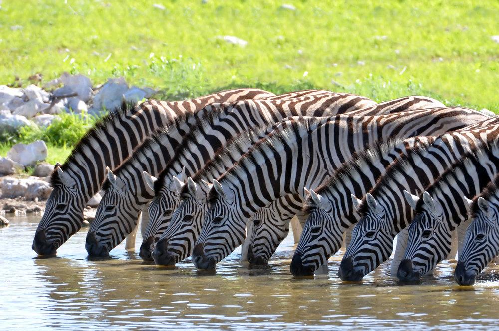Web-Africa-Zebras-sm.jpg