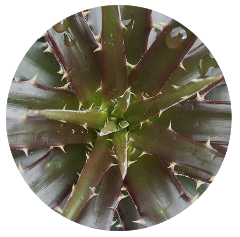 dyckia-'cherry-coke'.png