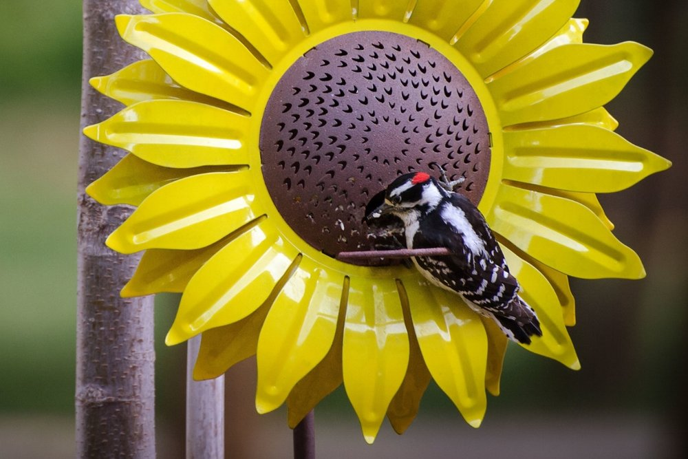 An evening departure from his day's woodworking to feast on a luxury Sunflower Bird Feeder.