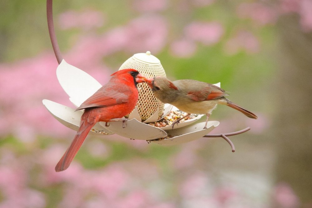 "Cardinals enjoying ""French"" cuisine on a Magnolia Bird Feeder."