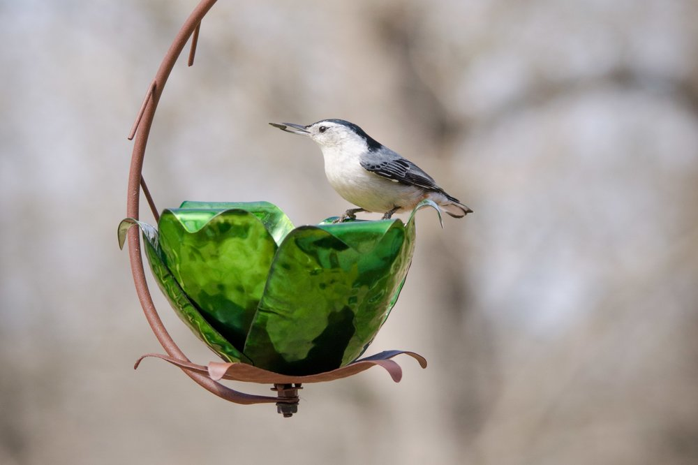 Artisan-crafted Tulip Tree Bird Feeder hosting a White-breasted Nuthatch.