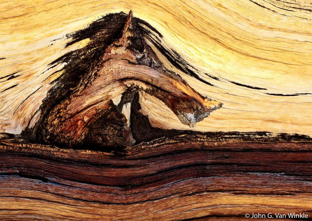 Bark Design on Bristlecone Pine, White Mountains, California
