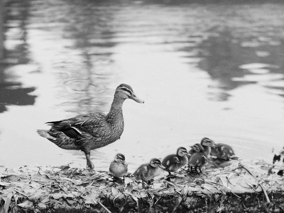 Photo of a duck family - an full grown duck looking over seven very little ducklings