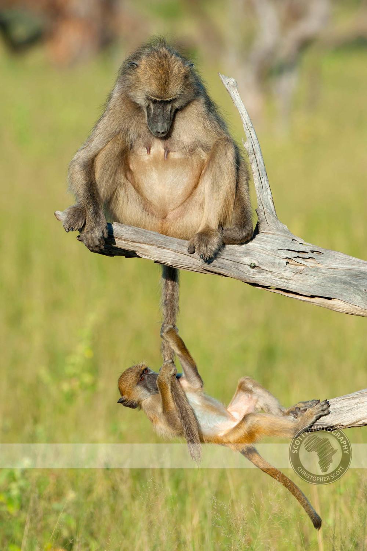Baboon, Chacma-364.jpg