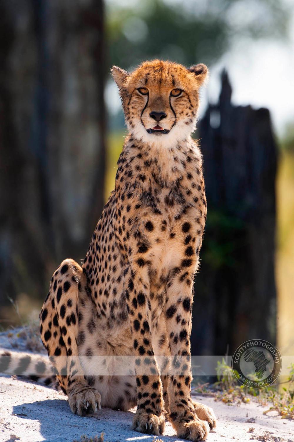 Cheetah-172.jpg
