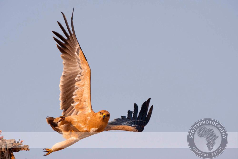 Eagle, Tawny0064.jpg