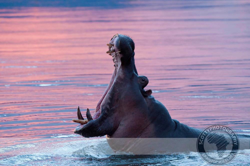 Hippo0338.jpg