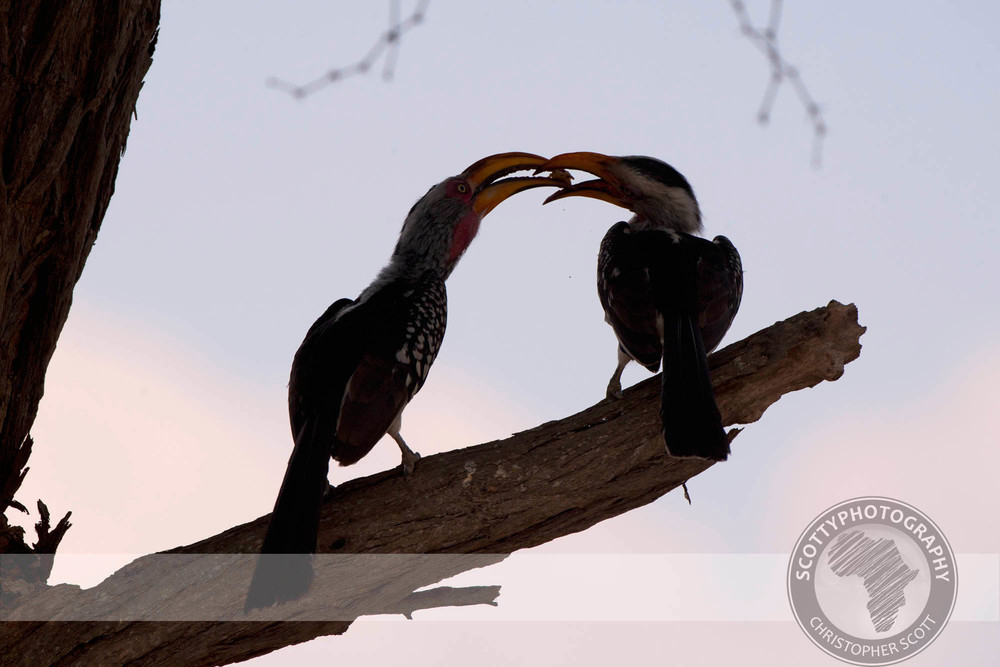 Hornbill, Yellow Billed0151.jpg