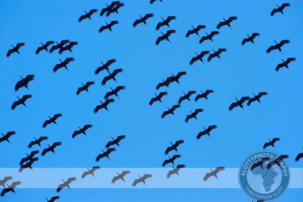 Ibis, Glossy0001.jpg