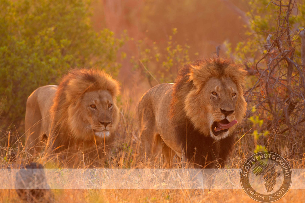 Lion-947.jpg
