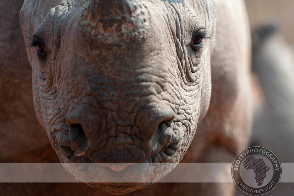 Rhino, Black0487.jpg