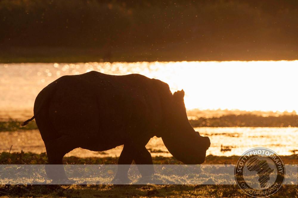Rhino, White-630.jpg