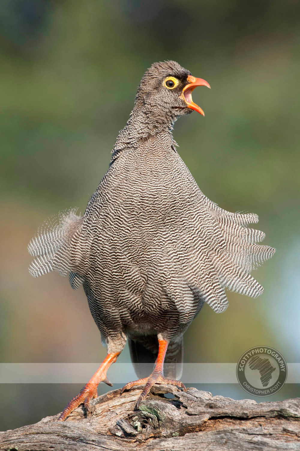 Spurfowl, Red Billed0029.jpg