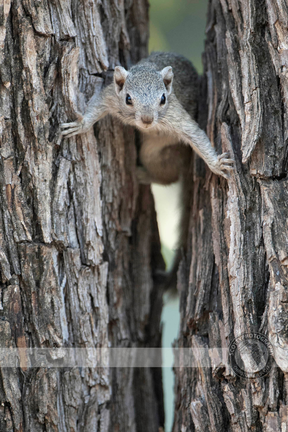 Squirrel, Tree0079.jpg