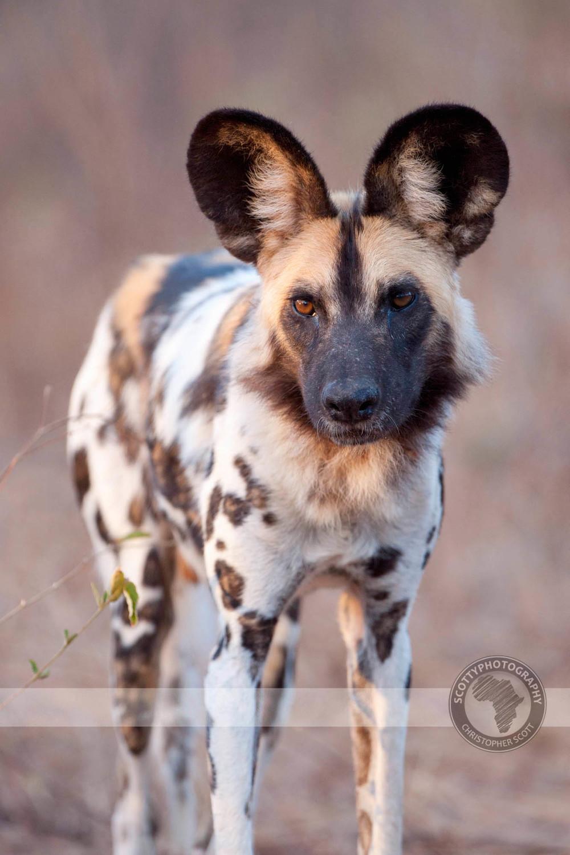 Wild Dog-661.jpg