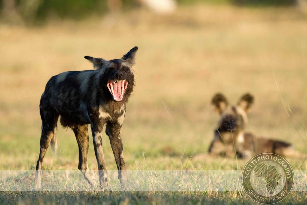 Wild Dog0258.jpg