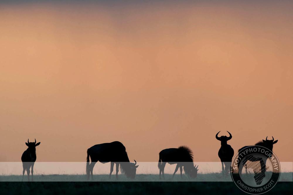 Wildebeest0222.jpg