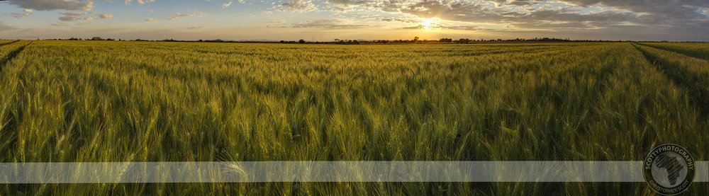 Creating a 180 degree panoramic image of this field of wheat at sunset allowed me to showcase the sheer size of the field.