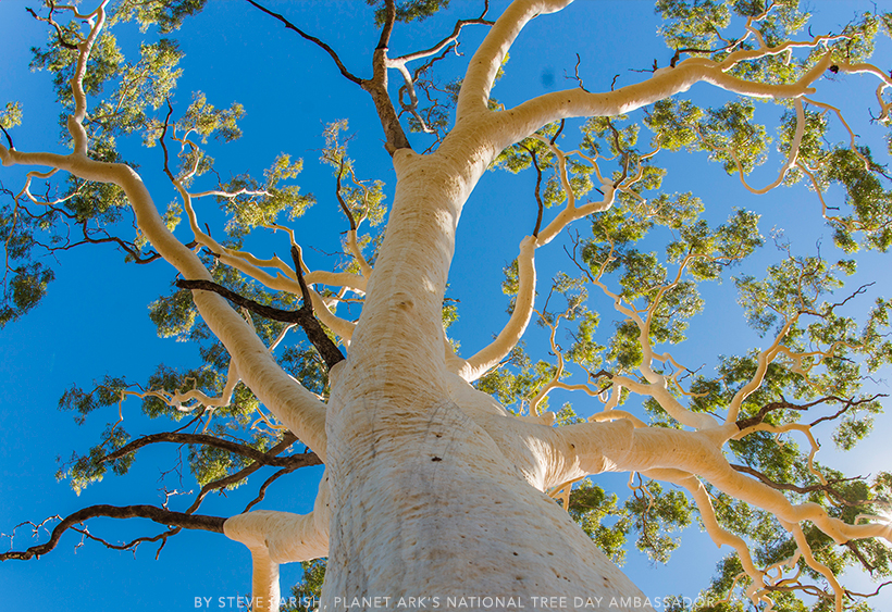 Giant Ghost Gum. Image taken by Steve Parish