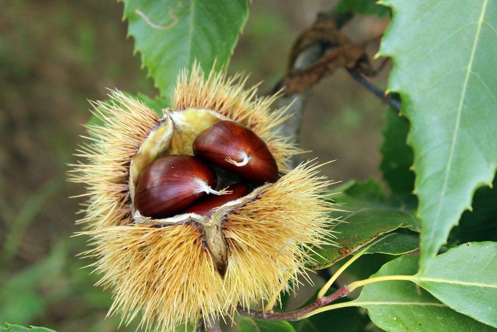 chestnut-2810591_1920.jpg