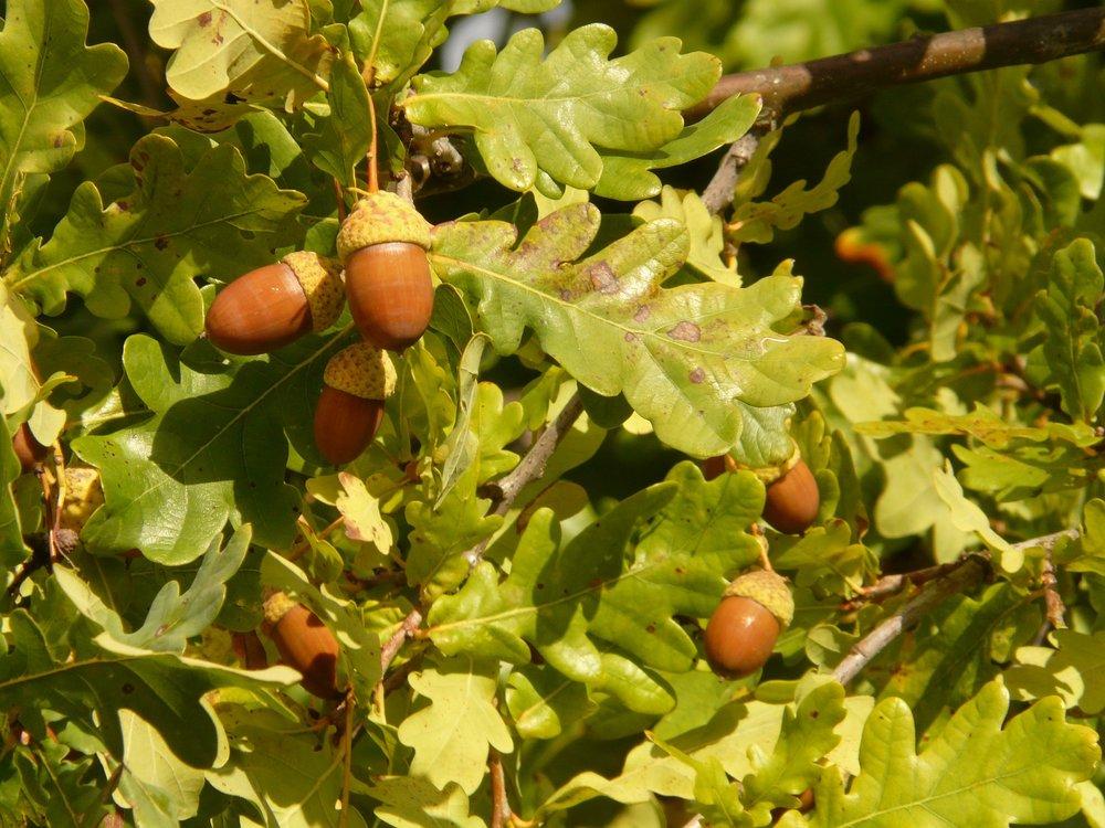 oak-tree with acorns.jpg
